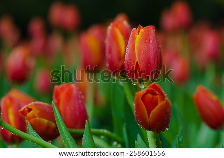 Orange tulip flowers with water drops in tulip garden.