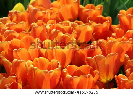 Orange tulip with backlight and water droplets - stock photo
