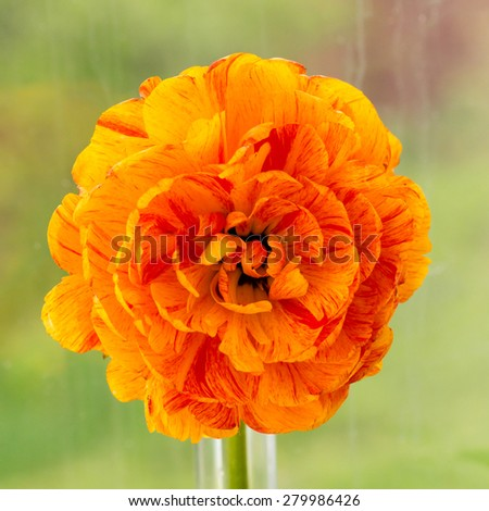 orange tulip with  fully double flowers - stock photo
