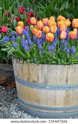 Orange tulips and bluebells in wooden planter - stock photo