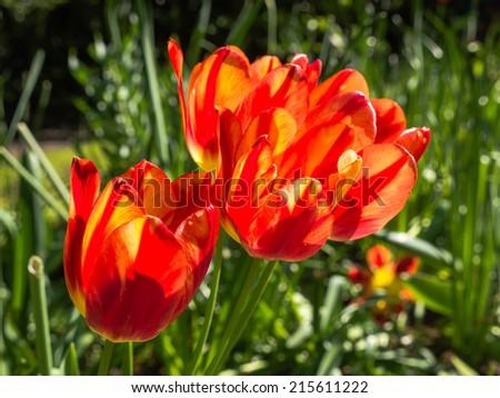 Orange tulips in bright sunlight - stock photo