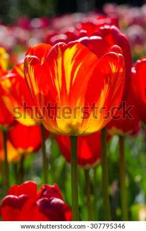 Orange with yellow tulip on a bright background - stock photo