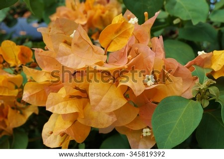 Orange yellow flowers of a tropical Bougainvillea vine