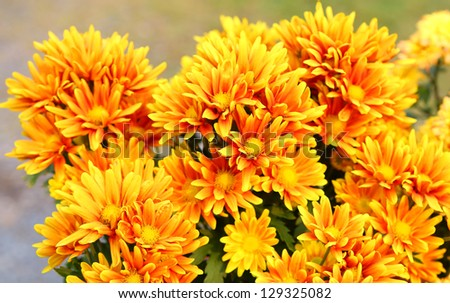 Orange-yellow gerbera flower
