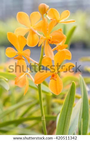 Orange, Yellow Mokara orchid, blooming in farm, in soft color and soft blurred style, with natural blurred background, in Thailand. Macro. - stock photo