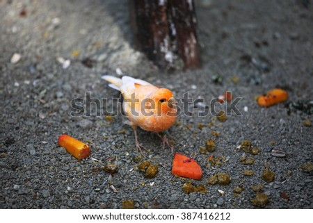 Orange zebra finch - stock photo