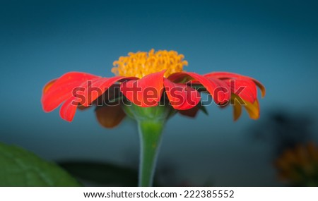 Orange Zinnia Flower on blue background - stock photo