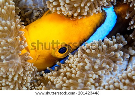 Orangefin anemone fish tucks itself into the carpet anemone for protection - stock photo