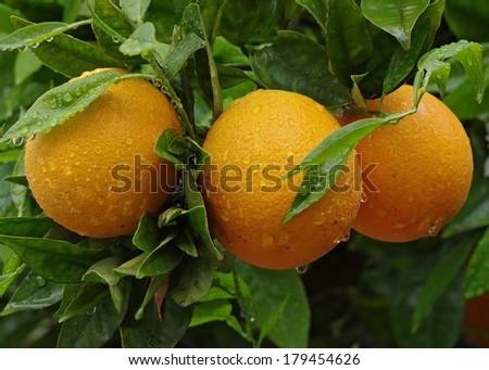 Oranges hanging on tree - orange tree on a rainy day in a Southern California home garden.