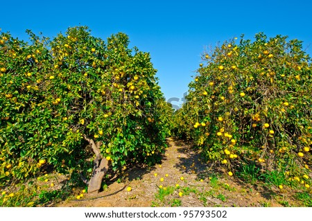 Oranges on the Tree ready for Harvests