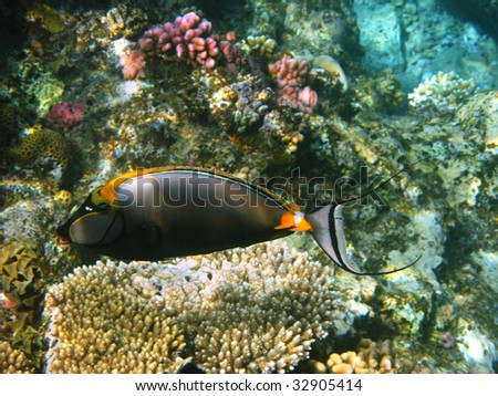 Orangespine unicornfish and reef
