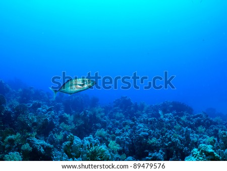 Orangespotted trevally (Carangoides bajad) in the Red Sea, Egypt. - stock photo