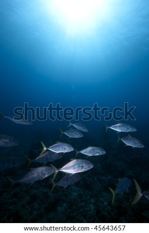 Orangespotted trevally taken in the Red Sea - stock photo