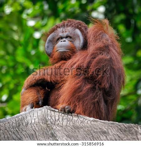 Orangutan. - stock photo