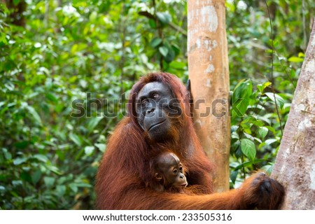 Orangutan and baby in the jungle of south Borneo Indonesia. - stock photo