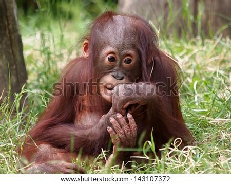 orangutan baby - stock photo