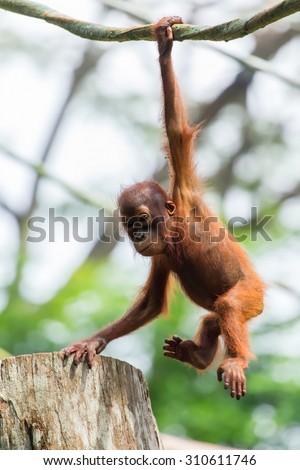 Orangutan baby hung on trees. - stock photo