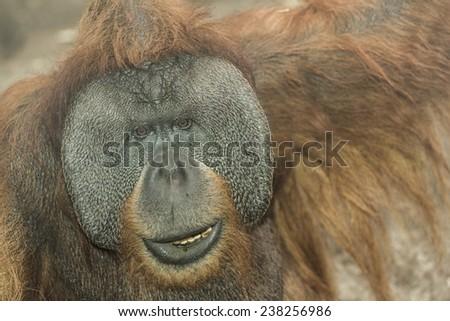 Orangutan close up - stock photo