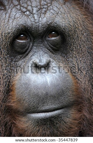 orangutan close up of face showing thoughtful expression, sepilok reserve, borneo, south east asia. orange monkey full frame macro mammal primate - stock photo