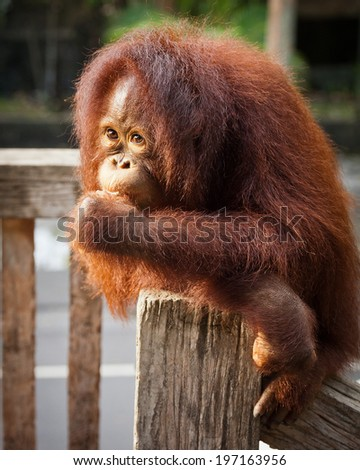 orangutan cute - stock photo