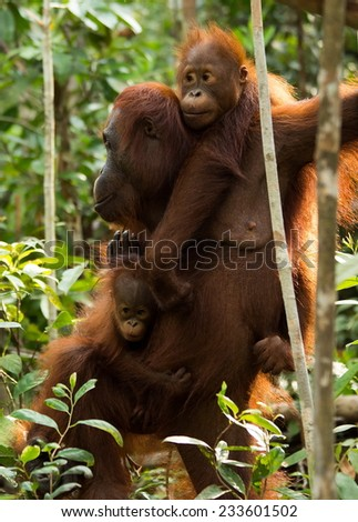 Orangutan family in the jungle of Borneo Indonesia. - stock photo