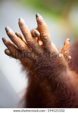 orangutan hand - stock photo