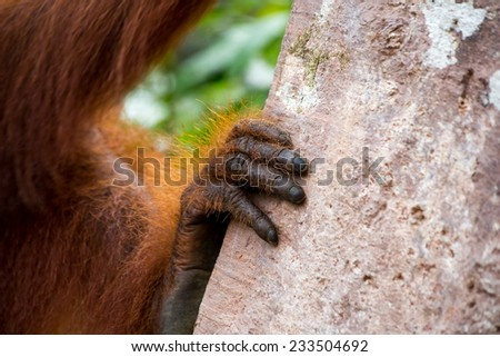 Orangutan hand hold on the tree in Borneo Indonesia. - stock photo