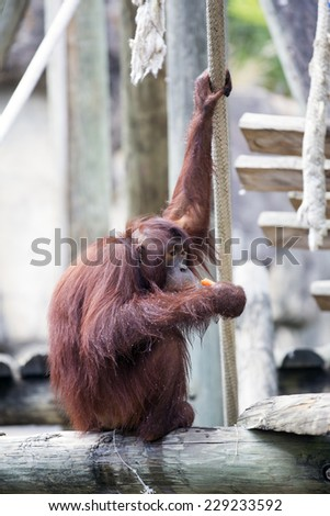 orangutan hanging onto a rope and eating. - stock photo