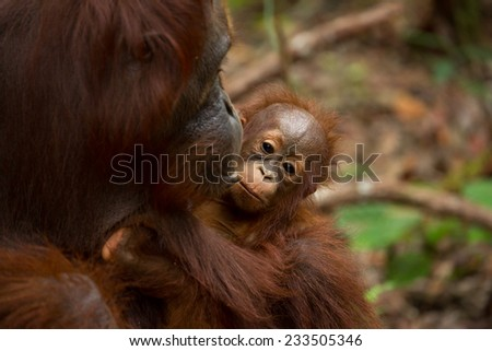 Orangutan in south Borneo Indonesia. - stock photo