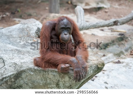 Orangutan in the Thailand Zoo - stock photo