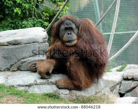 Orangutan just waiting - stock photo
