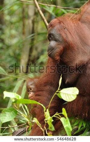 Orangutan Mother and child orangutans in the primary rainforest  Danum Valley Borneo 2010 - stock photo