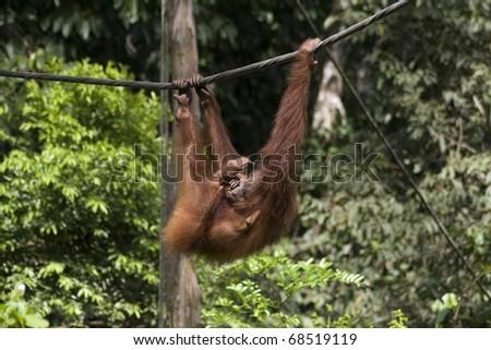 Orangutan mother in Sepilok Jungle Rehabilitation centre, Borneo - stock photo