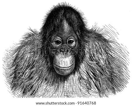 Orangutan (Pithecus Satyrus) - Vintage illustration / illustration from Meyers Konversations-Lexikon 1897 - stock photo