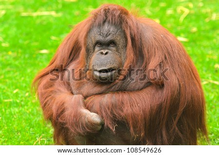 Orangutan (Pongo pygmaeus). Native to Indonesia and Malaysia, orangutans are currently found only in the rainforests of Borneo and Sumatra. - stock photo