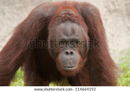 Orangutan (Pongo pygmaeus), Orangutans are currently found only in the rainforests of Borneo and Sumatra. - stock photo