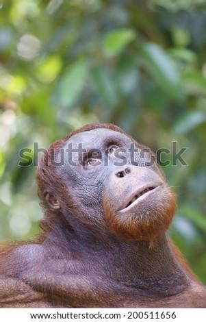 Orangutan portrait - stock photo