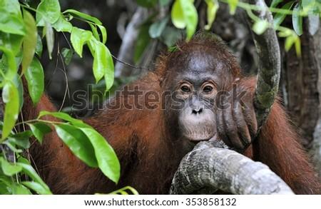 Orangutan Portrait. A portrait of the young orangutan. Close up at a short distance. Bornean orangutan (Pongo pygmaeus) in the wild nature. Island Borneo. Indonesia. - stock photo