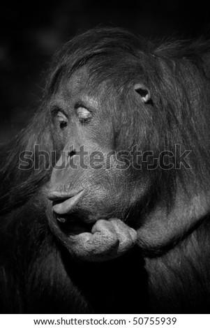 Orangutan pursing it's lips in B&W - stock photo