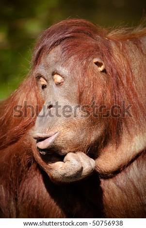 Orangutan pursing it's lips in Colour - stock photo