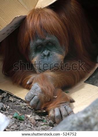 Orangutan under Box - stock photo