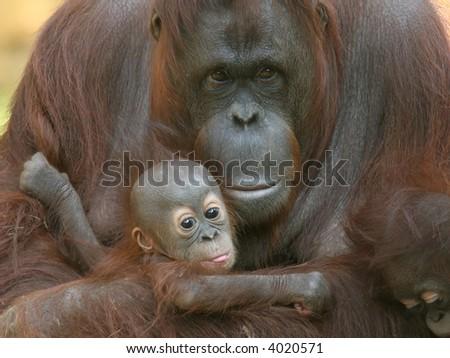 Orangutan with infants - stock photo