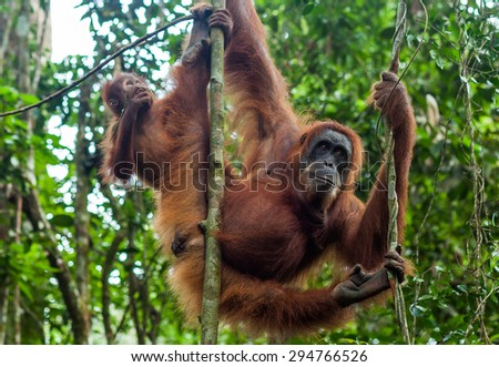 Orangutan with the baby in wild forests of Sumatra - stock photo