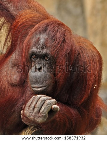 Orangutans are great apes with colorful and bright body hair. Orangutans appear to be thoughtful and contemplative animals.