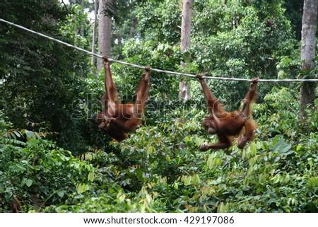 Orangutans in Sepilok, Sabah. Malaysian Borneo - stock photo