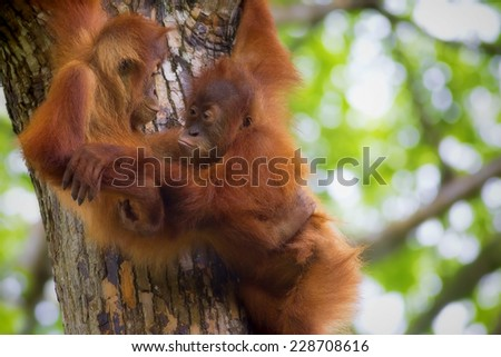 Orangutans in the jungle of Borneo, Malaysia - stock photo