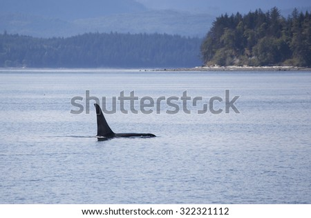 Orca bull traveling in Johnstone strait, Vancouver Island, British Columbia, Canada - stock photo