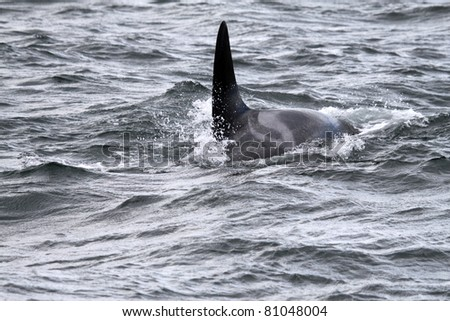 Orca (Orcinus orca)  in the Pacific. Canada - stock photo