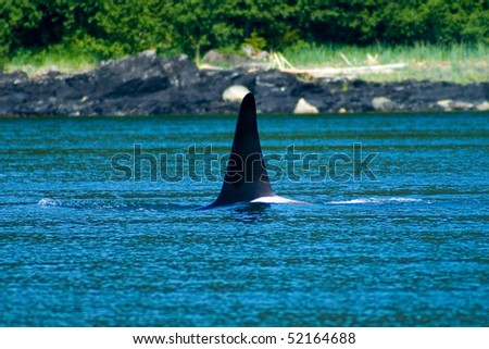 Orca pods swimming near Juneau, Alaska - stock photo