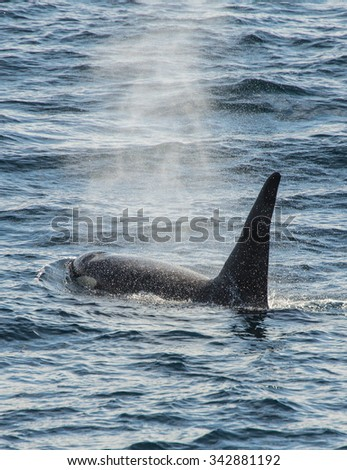 Orca, Russian Far East